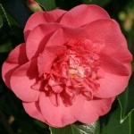 Camellia japonica Salomon