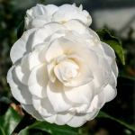Camellia japonica White