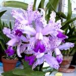 Cattleya Interglossa