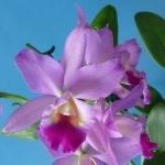 Cattleya Julia Good Morning