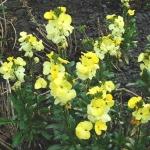 Cheiranthus cheiri Primrose Dame