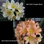Clivia Angelic Blush Noyce Sunburst Q54 Q43