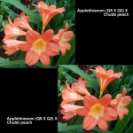 Clivia Appleblossom Q5Q2 Chubb peach