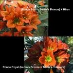 Clivia B4 Prince Royal