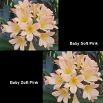 Clivia Baby Soft Pink