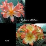 Clivia Bi-colour Chiffon Tulle