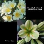 Clivia Butter Yellow Koike B Hirao Green