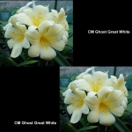 Clivia CM Ghost Great White
