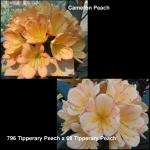 Clivia Cameron Tipperary Peach