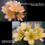 Clivia Cameron Tipperary Peach GT