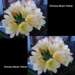 Clivia Chinese Blush Yellow LB