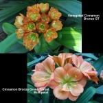 Clivia Cinnamon Bronze GT Daruma Var