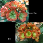 Clivia Copper Cup Gunston