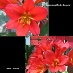 Clivia Coromandel Eugene TT
