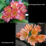 Clivia Dark Orange Ghost CM Pink Ghost