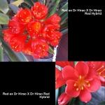 Clivia Dr Hirao Red Hybrid