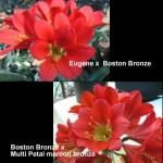 Clivia Eugene Boston Bronze