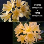 Clivia GYGY04 x YCP02 P.Peach