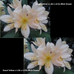 Clivia GY Ex Mick Dower