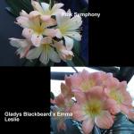 Clivia Gladys Emma Symphony