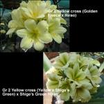 Clivia Golden Fleece Hirao Shige's Green