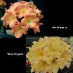 Clivia Her Majesty Vico Original