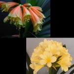 Clivia Interspecific x Yellow