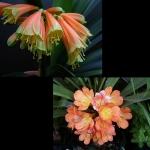 Clivia Interspecific x Peach