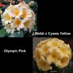Clivia J.Webb CY Olympic