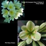 Clivia Koike B Hirao Green X2