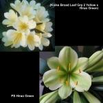 Clivia Koike Broad Leaf Hirao Green X2