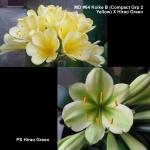 Clivia MD64 Koike B Hirao Green X2
