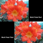 Clivia Multipetal Red
