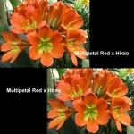 Clivia Multipetal Red Hirao