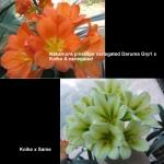 Clivia Nakamura Koike variegated