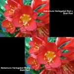 Clivia Nakamura Variegated Best Red