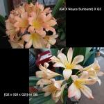 Clivia Noyce Sunburst Appleblossom Q43 Q252