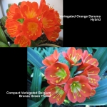 Clivia Orange Daruma BB Compact Var