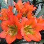 Clivia Orange GT x Hirao