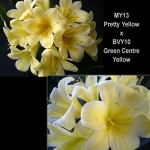 Clivia P. Yellow x GC Yellow