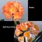 Clivia Pastel x Split Euro Peach