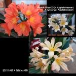 Clivia Peach Glow Appleblossom Q452 Q252