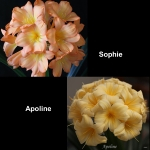 Clivia Sophie Apoline