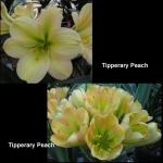 Clivia Tipperary Peach TP