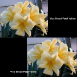 Clivia Vico Broad Petal Yellow