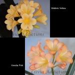 Clivia W. Yellow х A. Pink