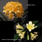 Clivia Weisse Peach x (Y. x G.W.) GT Yellow