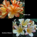 Clivia White Lips Andrew Gibson