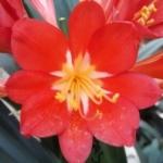 Clivia miniata red mix