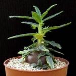 Dorstenia hildebrandtii f. crispa